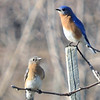 Bluebirds - Charlottesville, VA - March 9, 2013