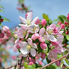 04/14/13 - Spring only comes once a year, so we spent the weekend enjoying it!<br /> ~Crabapple Tree