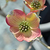 "04/14/13 - Spring only comes once a year, so we spent the weekend enjoying it!<br /> ~Dogwood Tree ""Cherokee Brave"""