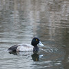 March 16, 2013 - Probable Lesser Scaup Duck