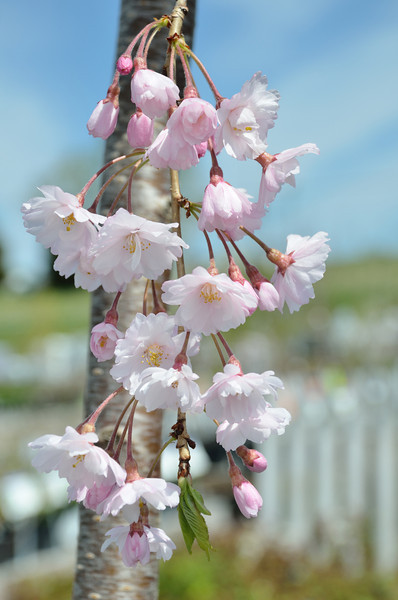 04/14/13 - Spring only comes once a year, so we spent the weekend enjoying it!<br /> ~Cherry Tree