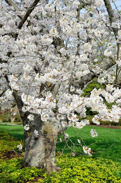 Kenwood Cherry Blossoms - April 13, 2014