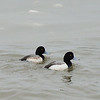 Probable Greater Scaup Ducks at Chesapeake Beach, MD - 2/13/14