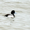 Probable Greater Scaup Duck at Chesapeake Beach, MD - 2/13/14