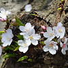 Kenwood Cherry Blossoms - April 13, 2014