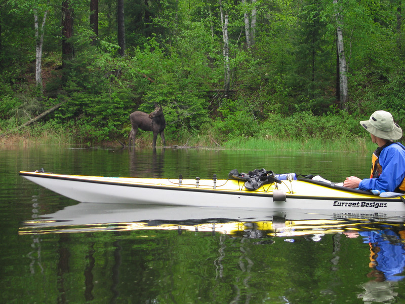 Kayaking the BWCA, along the Otter Track, we rounded a corner to find this moose.