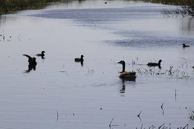 outdoor buzzards geese - Copy