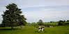 Cows (1 of 1)