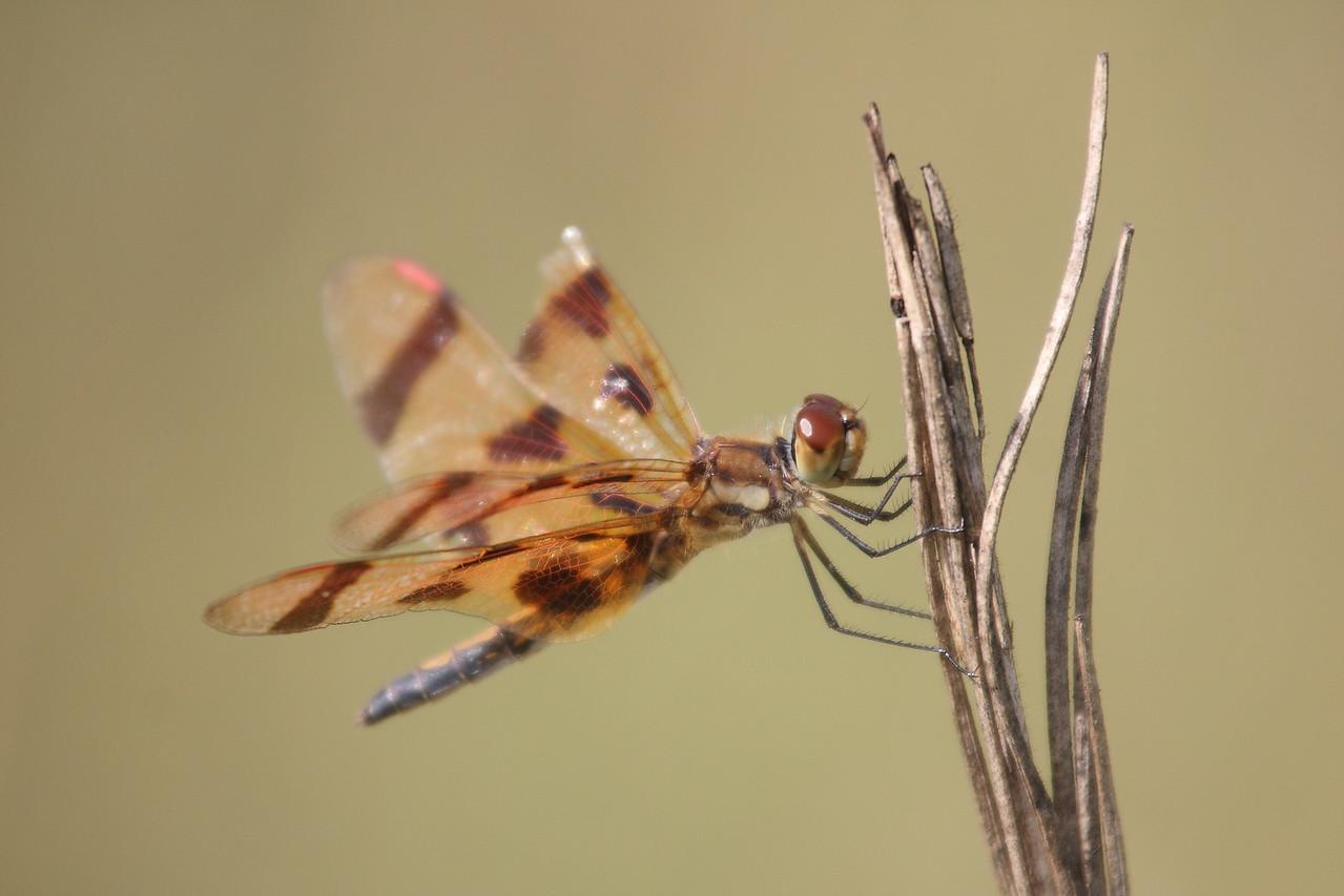 IMG4_44243 Dragonfly dpp