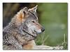 Wolf c framed