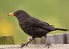 Blackbird 2 done