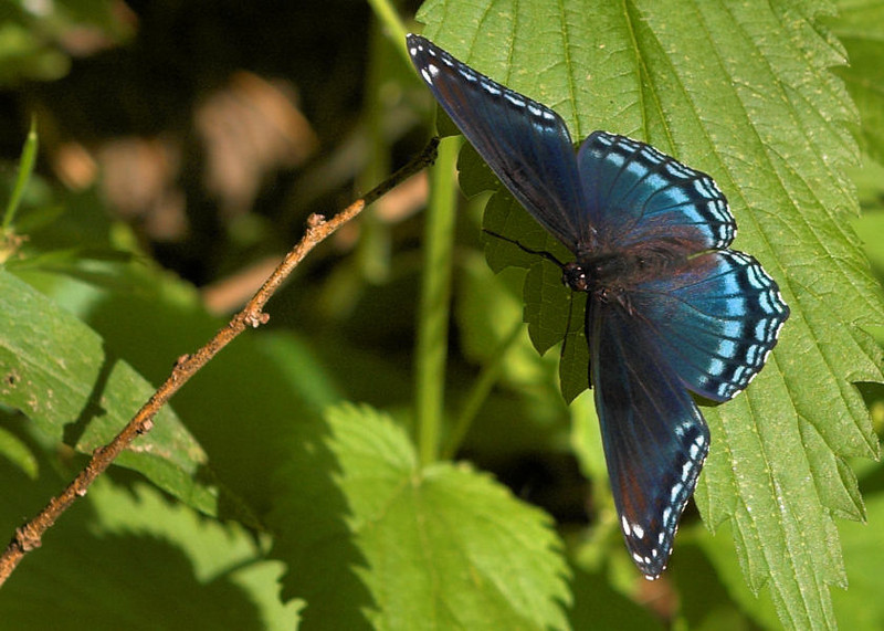 Blue Butterfly, Minneopa State Park, Mankato, MN