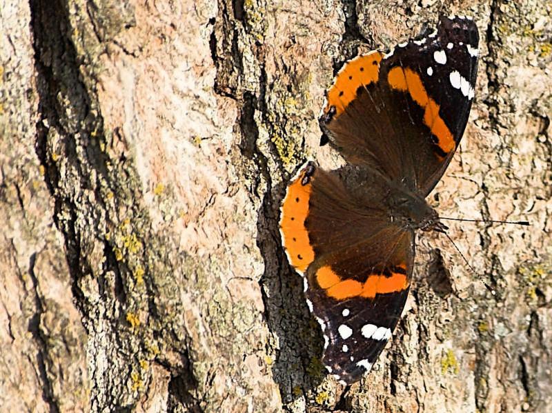 Butterfly<br /> Ney Environmental Center<br /> Henderson, MN