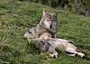Wolves edit