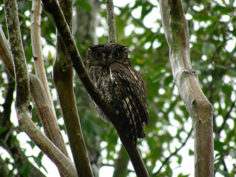 My Owl. Only one mile outside of Downtown Houston. Well... He was in my neighbors tree. I guess he was not mine...