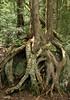 cedar and dead birch on granite, Adirondacks