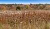 Fall grasses, Concord MA