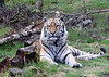 Tiger Lying Down a