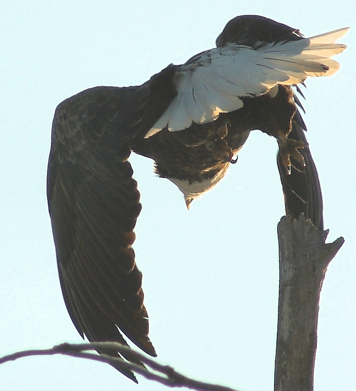 Eagle near Henderson, MN