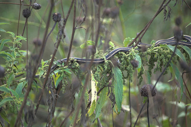 Garter Snake suspended on a plant