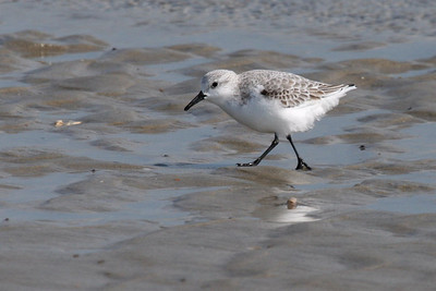 Sanderling in first basic plumage (11-10-07)