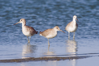Juvenile Eastern Willet with Western Willets