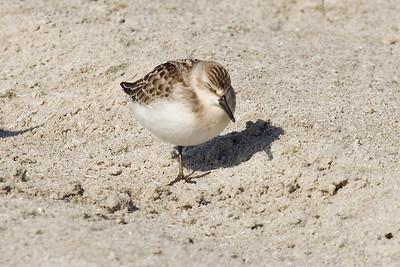 Juvenile Semipalmated Sandpiper