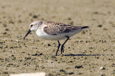 Juvenile Western Sandpiper