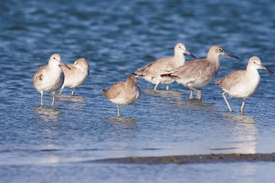 Juvenile Eastern Willet (sleeping) with a flock of Western Willets