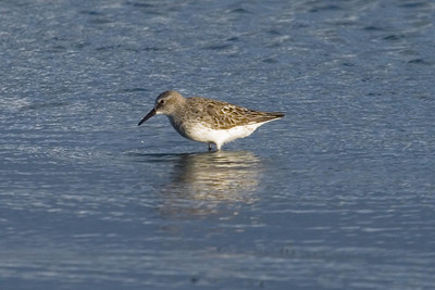 Adult White-rumped Sandpiper molting to basic