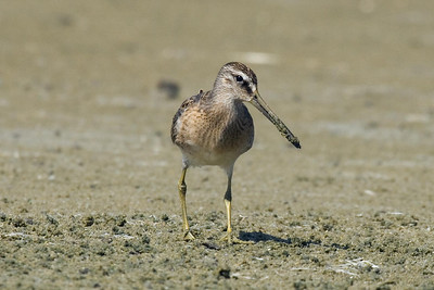 Juvenile Short-billed Dowitcher