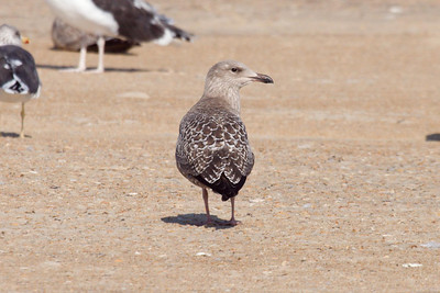 Juvenile American Herring Gull (11-10-07)