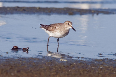 Adult White-rumped Sandpiper molting into basic