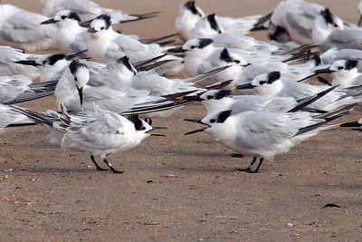 Sandwich Terns (juvenile begging from adult) (11-10-07)
