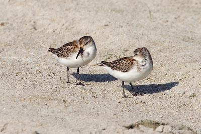 Juvenile Western Sandpipers