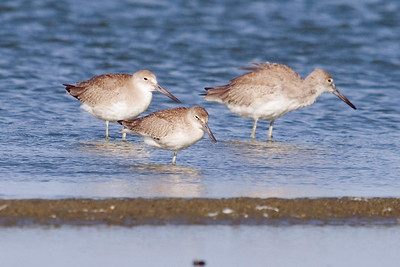 Juvenile Eastern Willet with juvenile Western Willets