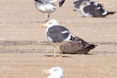 Adult Lesser Black-backed Gull (graellsii) (11-10-07)