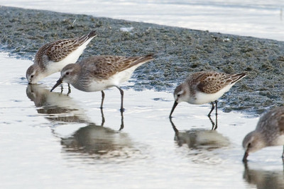 White-rumped Sandpipers and Western Sandpiper