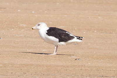 Adult Great Black-backed Gull (11-10-07)