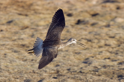 Juvenile Greater Yellowlegs