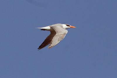 Adult basic Caspian Tern