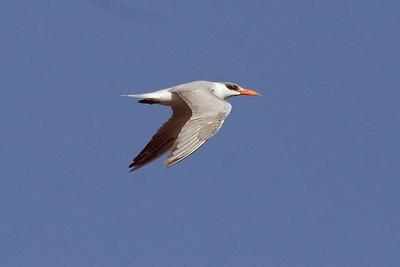 Adult basic Caspian Tern