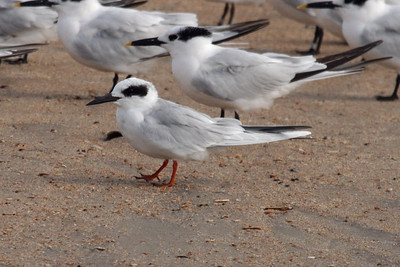 Forster's Tern in basic plumage (11-10-07)