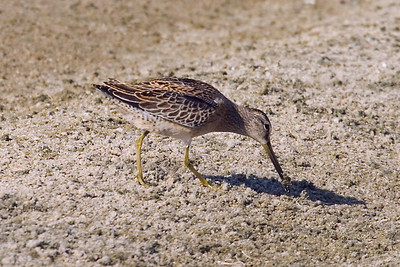 Juvenile Short-billed Dowitcher