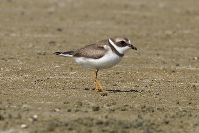 Adult basic Semipalmated Plover