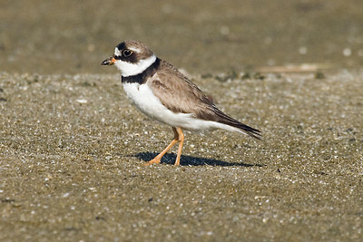 Adult Semipalmated Plover in alternate plumage