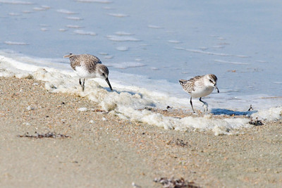 Western Sandpiper and Semipalmated Sandpiper (11-10-07)