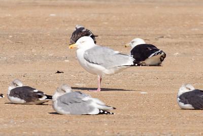 Adult American Herring Gull (11-10-07)
