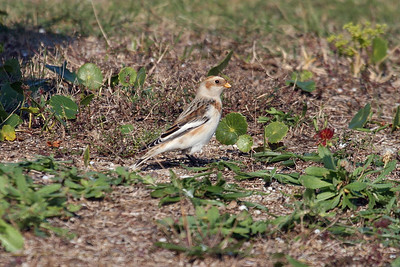 Adult male Snow Bunting in basic plumage (11-10-07)
