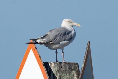 Third-cycle Herring Gull